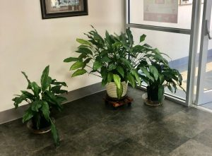 Since his first year as principal in 2000, Mr. Spellman has watered these plants just inside the main lobby every Friday. He has a few more in his office as well, and said he plans on giving them to someone who will take care of them when he retires this month.