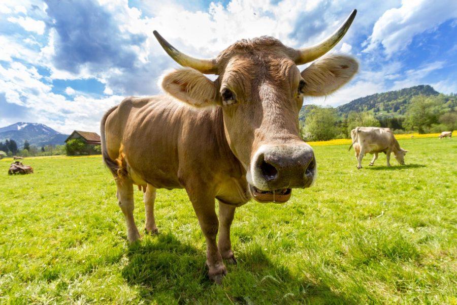 Need milk? Buy a cow